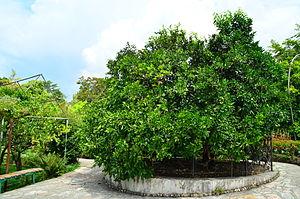 Tsentralny City District, Sochi - Friendship Tree in the Subtropical Botanical Garden