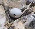 Frigate egg hatching (Fregata aquila) (8515652166).jpg