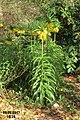 Fritillaria imperialis 'Lutea maxima' (SG) (33524472640).jpg