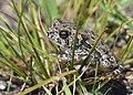 Frog-Toad (37399686060).jpg