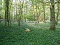 Frolicking in the Bluebells - geograph.org.uk - 1317368.jpg