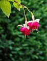 Fuchsia 'Violetkoningin' 01.jpg