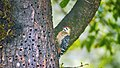 Fulvous-breasted Woodpecker Dendrocopos macei, Munsiyari, Uttarakhand.jpg