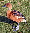 Fulvous whistling duck.JPG