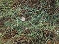 Funastrum cynanchoides, Twinevine Milkweed, 2013 - panoramio (1).jpg