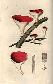 Fungi engraving by William Miller after R K Greville.jpg
