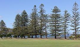 G.J. Walter Park Araucaria heterophylla trees