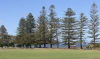Cleveland, Queensland - Norfolk Pines in G.J. Walter Park, Cleveland