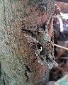 GT Silver Y moth hiding on a log.jpg