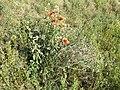 Gaillardia ×grandiflora sl1.jpg