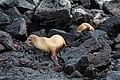 Galápagos sea lions, Santa Fe Island 01.jpg