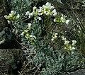 Galitzkya spathulata.jpg