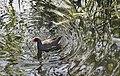 Gallinula chloropus - Galiña de auga - Polla de agua - Common moorhen - 02.jpg