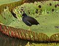 Gallinula chloropus pyrrhorrhoa Mauritius.jpg