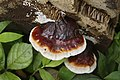 Ganoderma sp 1410.jpg