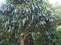 Garcinia xanthochymus (16201182272).jpg
