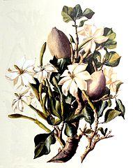 Gardenia thunbergia drawing from Compton Herbarium, Kirstenbosch.  Author:Edith Struben (1868-1936)