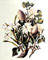 Gardenia thunbergia00.jpg