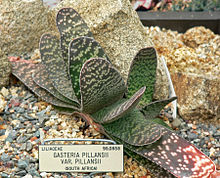 Gasteria pillansii var pillansii 1.jpg