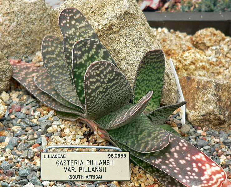 Семена суккулентов литопсов кактусов адениумов