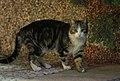 Gato callejero en Madrid 16.jpg