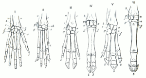 Gegenbaur 1870 hand homology.png