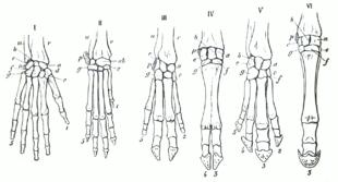 Схема строения скелета. с указанием гомологичных костей.  Из: Gegenbaur, Carl Grundzüge der vergleichenden Anatomie.