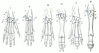 Karl Gegenbaur -  Gegenbaur: Homology of the hand to forelimbs (1870)