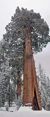 """Giant sequoia (Sequoiadendron giganteum): the """"General Grant Tree"""" in Kings Canyon National Park"""