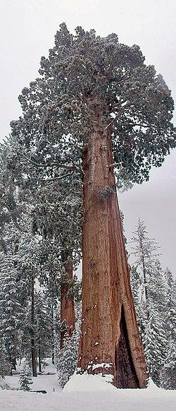 General Grant tree.jpg