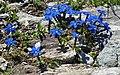Gentiana orbicularis RF.jpg