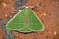 Geometrid Moth (Id ?) (16475949356).jpg