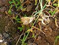 Geometridae Ennominae Ennomini Ennomos quercaria - Flickr - gailhampshire.jpg