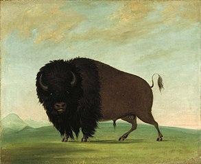 Buffalo Bull, Grazing on the Prairie