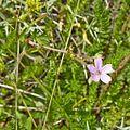 Geraniaceae sp.-CTJ-IMG 7140.jpg