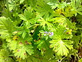 Geranium pusillum 06.jpg