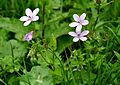 Geranium robertianum Herb Robert უჟმურა.JPG