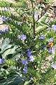 Gewöhnlicher Natternkopf Echium vulgare 2868.jpg