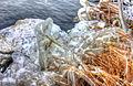 Gfp-illinois-shabbona-lake-state-park-iced-plants.jpg