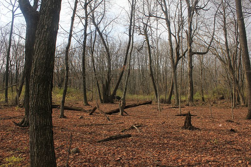 File:Gfp-wisconsin-blue-mound-state-parl-clearing-in-the-forest.jpg