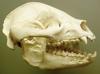 Giant panda - The skull of giant panda at the Smithsonian Museum of Natural History