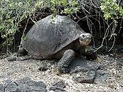 180px Giant Tortoise, en uzun yaşayan hayvan