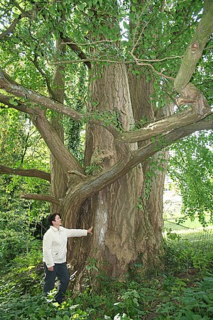 Ginkgo biloba also known as Maidenhair Tree.