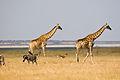 Giraffe, zebra, springbok (3687263303).jpg