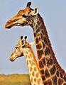 Giraffes in Kruger Park, South Africa.jpg