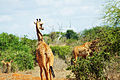 Giraffes retreating from the road (5232714374).jpg