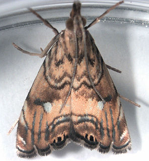 <i>Glaucocharis</i> Genus of moths