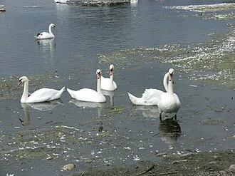 Lough Derravaragh - Swans on Lough Derravarragh in August 2010