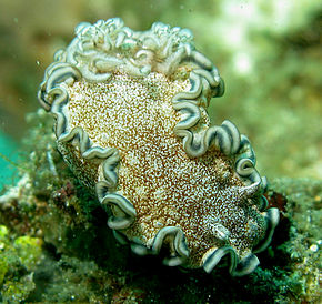 Description de l'image Glossodoris hikuerensis2.jpg.