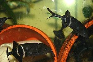 Mormyridae - Elephant fish
